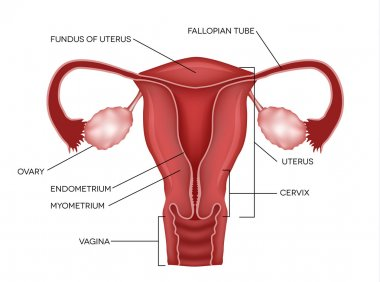 Uterus and ovaries, organs of female reproductive system