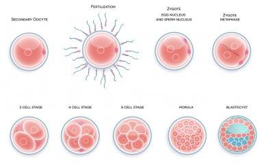 Fertilised cell development. Stages from fertilization till moru