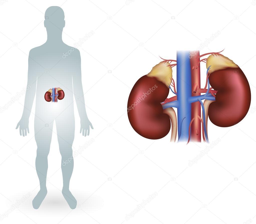 Diagrama de riñones humanos anatomía detallada — Vector de stock ...