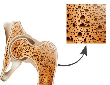 Human bone anatomy.