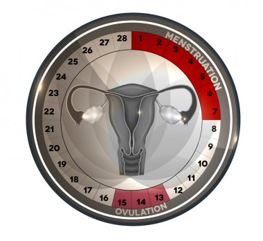 Menstrual cycle calendar reproductive system