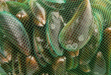 Saltwater Mussels