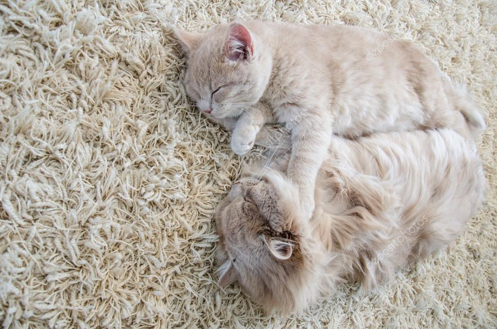 cats sleeping together on carpet