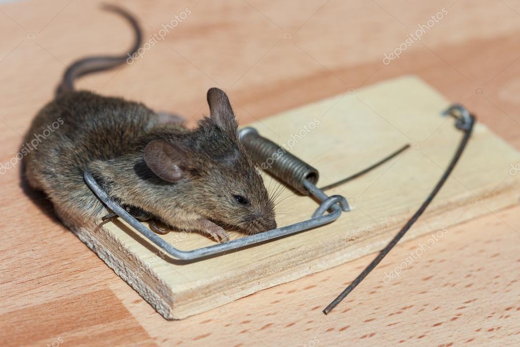 ratón muerto en una trampa para ratones — Foto de stock © Photozirka ...