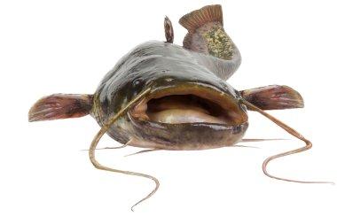 The river catfish