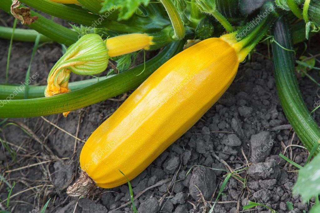 Yellow zucchini growing