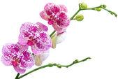 Orchidej izolované na bílém pozadí