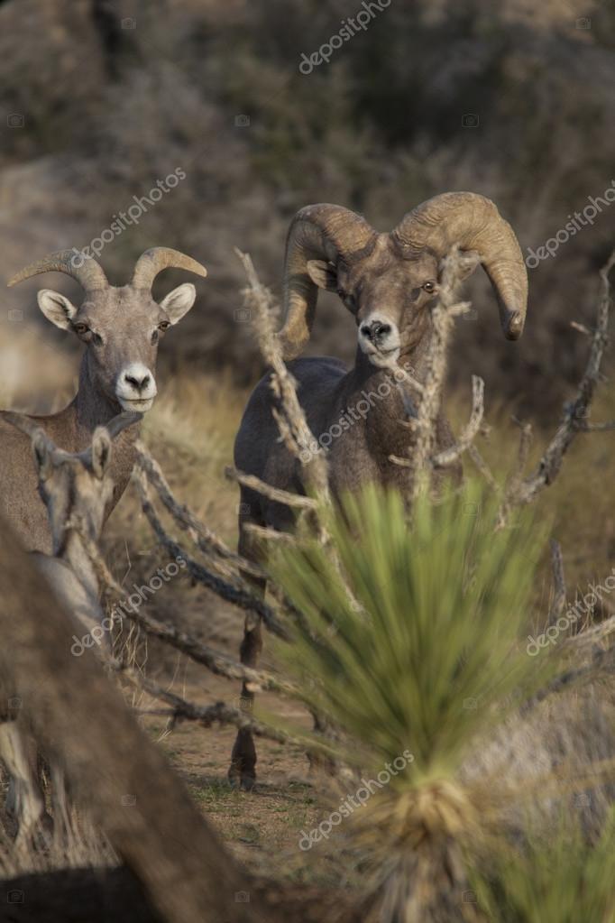 Desert bighorn sheep.