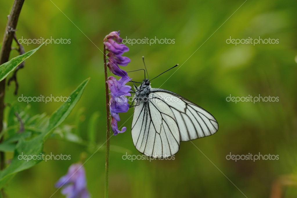 close up of black-veined white butterfly on flowery  field background