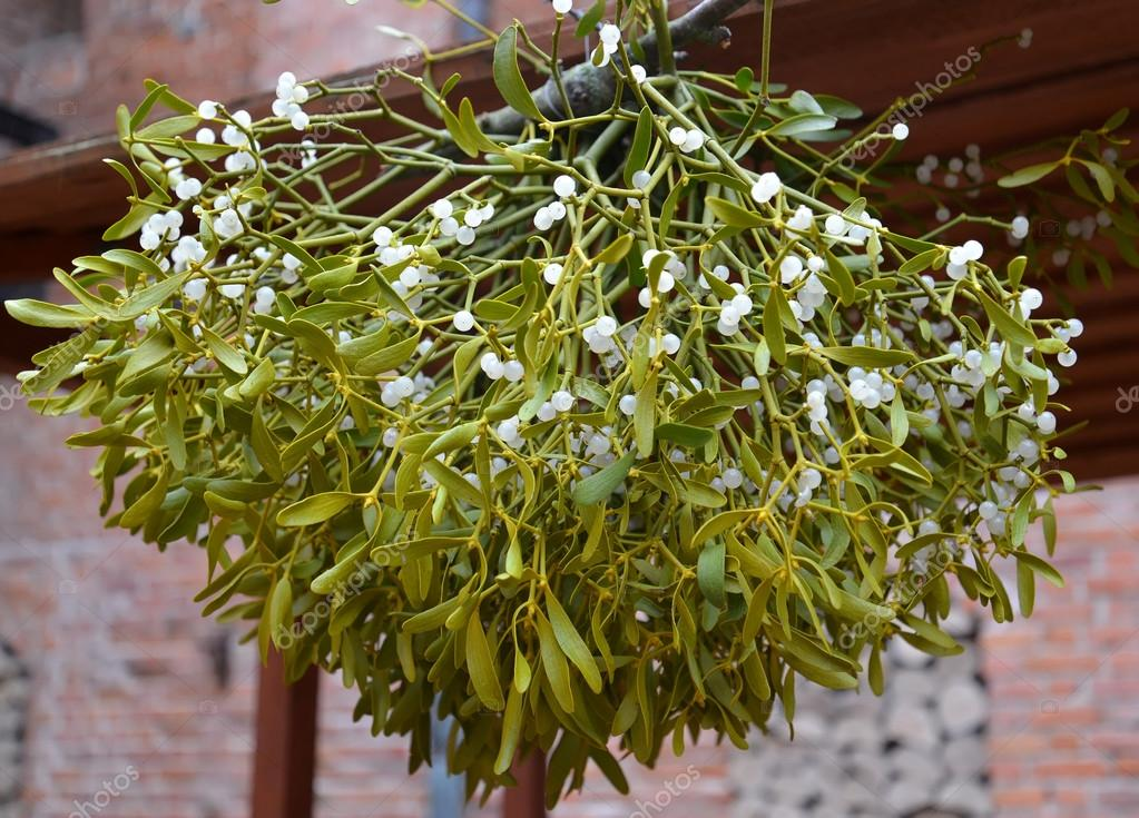 Drying Of A Mistletoe White Viscum Album L Photo By Vodolej