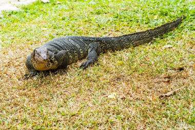 Water monitor on grass