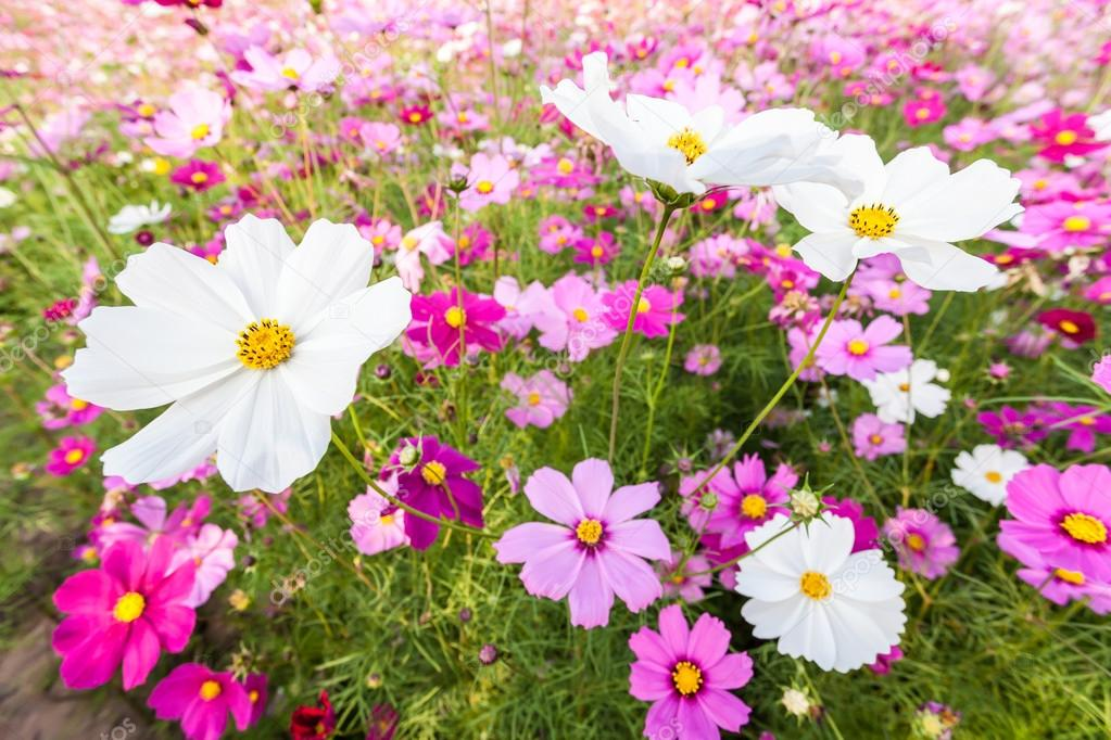 White Cosmos Flowers On Field Stock Photo Atthapols 38280973