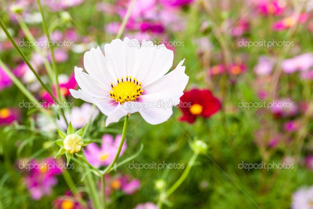 weiße Kosmos Blume auf Feld — Stockfoto © atthapols #38281177