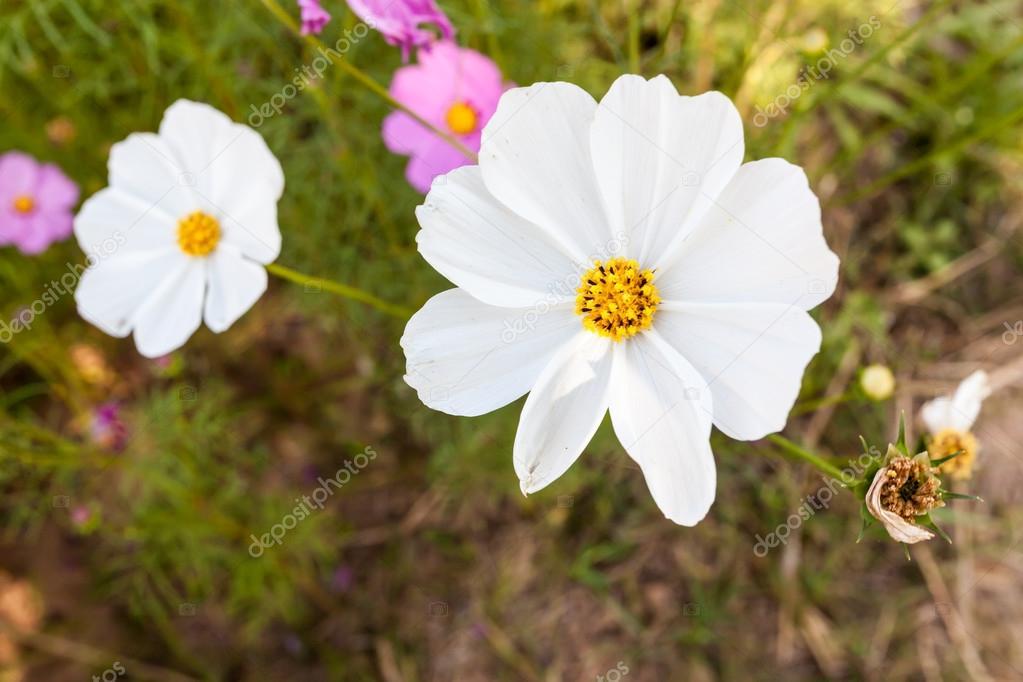 weiße Kosmos Blume hautnah — Stockfoto © atthapols #39136545