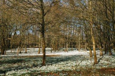 snowdrop flowers in winter forest