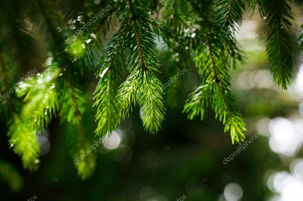 Coniferous tree branch with water drops.