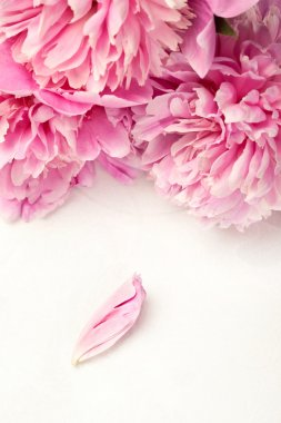 Stunning pink peonies and one petal on white background