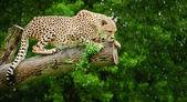 gepard acinonyx jubatus velká kočka