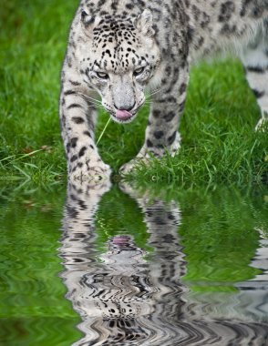 Beautiful portrait of Snow Leopard Panthera Uncia big cat reflec