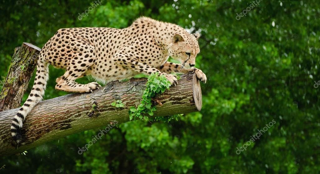 Cheetah Acinonyx Jubatus Big Cat
