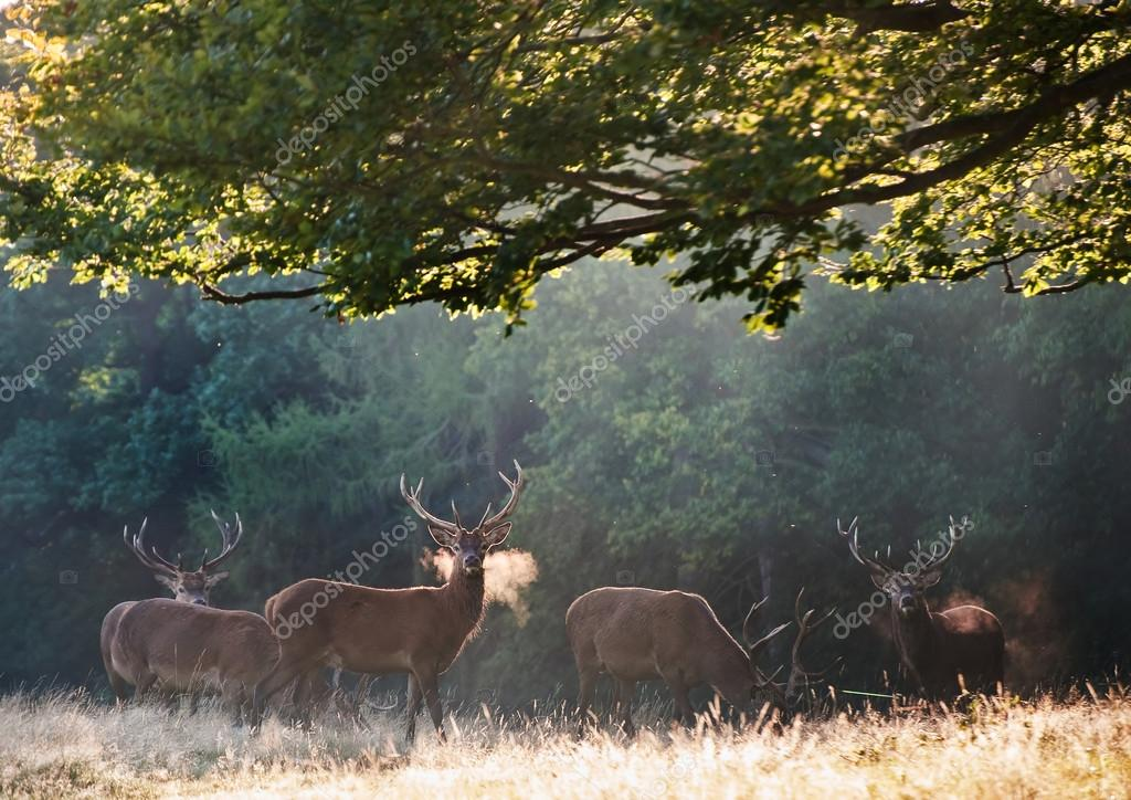 Red deer stags on cold morning in mistty foggy landscape