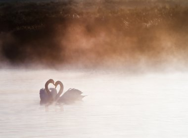 Mated pair of swans on misy foggy ASutumn Fall lake touching sce