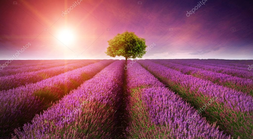 Фотообои Stunning lavender field landscape Summer sunset with single tree