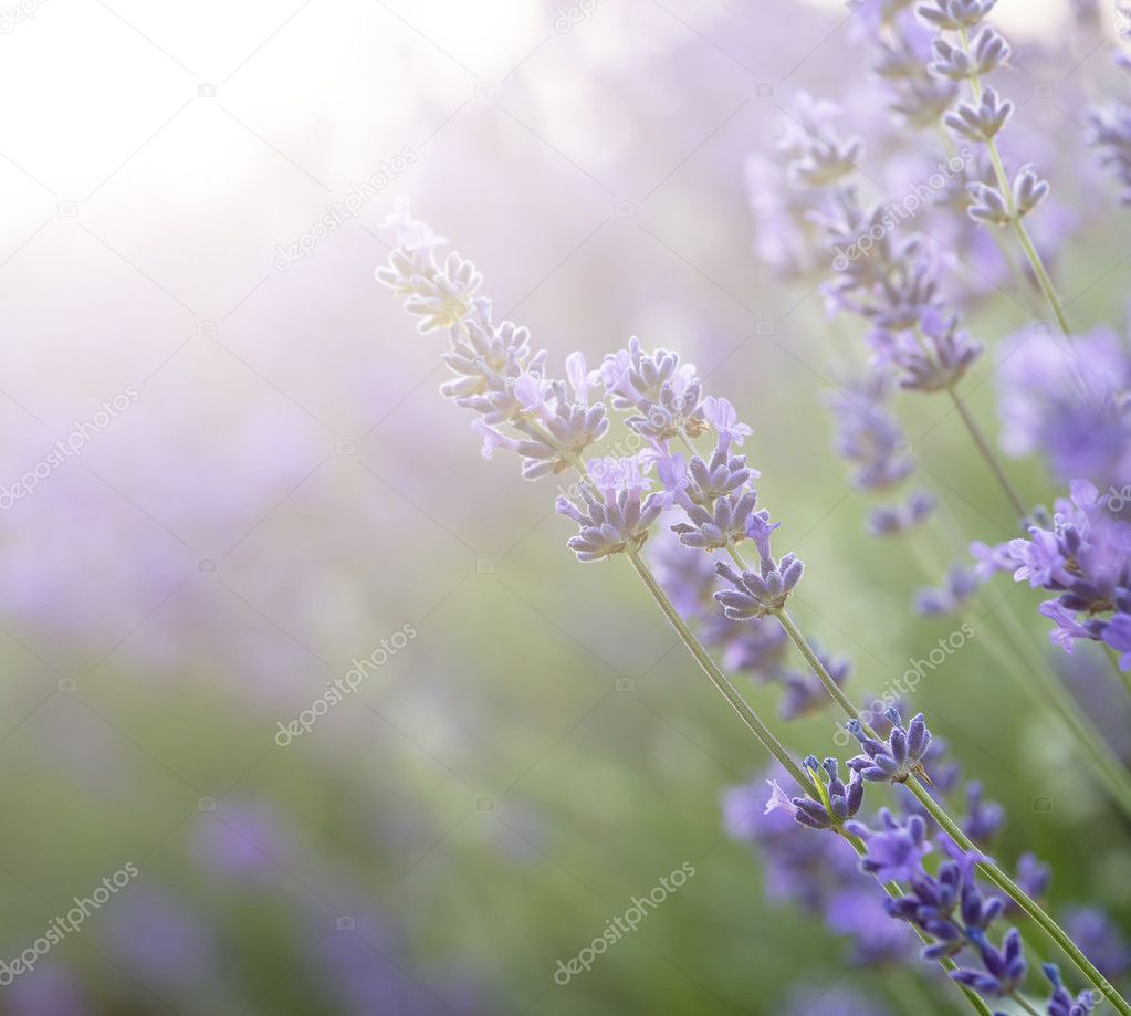 Beautiful lavender field with sun flare and shallow depth of fie