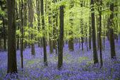 Fotografie Vibrant bluebell carpet Spring forest landscape
