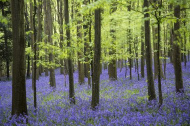 Beautiful carpet of bluebell flowers in Spring forest landscape stock vector