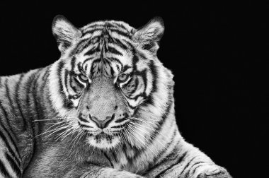 Portrait of Sumatran tiger in black and white