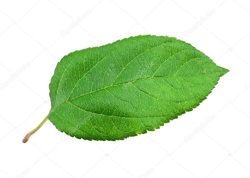 Grünes Apfelblatt - Stockfotografie: lizenzfreie Fotos