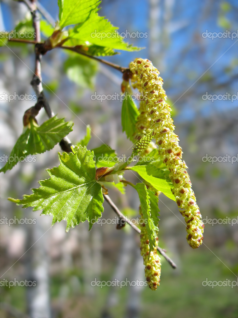 Spring. Close-up of birch catkins
