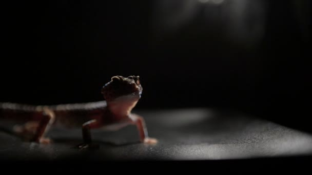 Adorable little gekko on black table