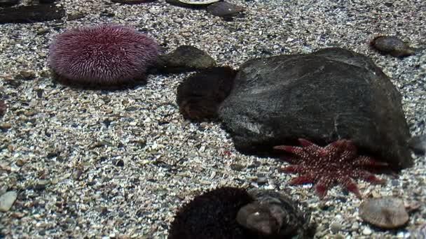 Marine life - Echinus - Red Sea Urchins