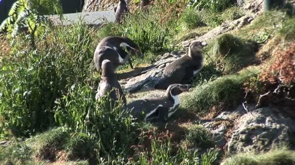 Pinguine - Magellan-Pinguine - loyale Beziehungen
