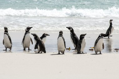Magellanic Penguins on the beach