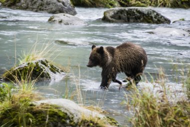 Alaska - Baby Brown Bear Catching A Fish