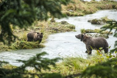 Brown Bear - Mother With Young Fishing