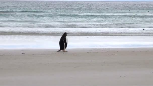 Pinguine - Magellan und Gentoo