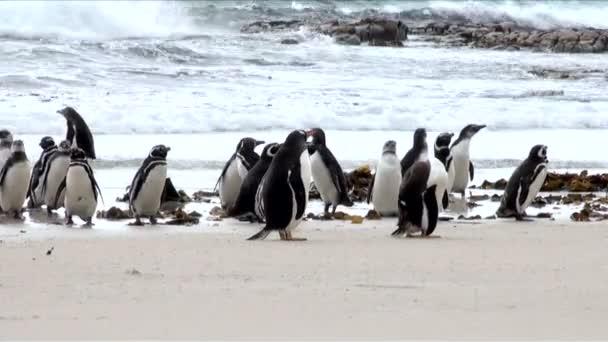 pinguini - magellan e gentoo