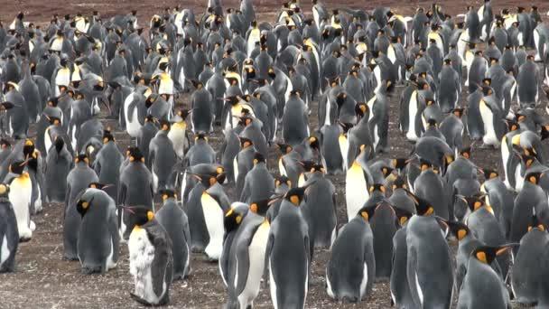 kolónia király pingvinek a blöff öbölben, falkland-szigetek