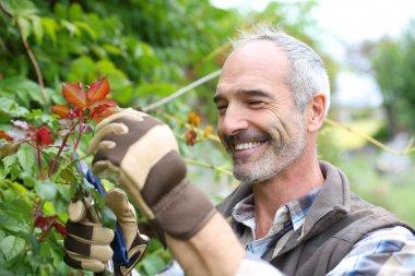 Senior man in garden cutting roses stock vector