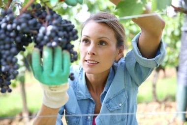 Woman picking grape
