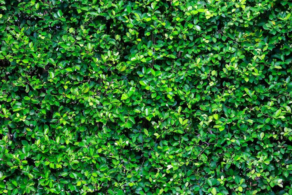 Textura verde arbusto en el jard n fotos de stock for Arbustos de jardin fotos