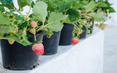 Strawberry .