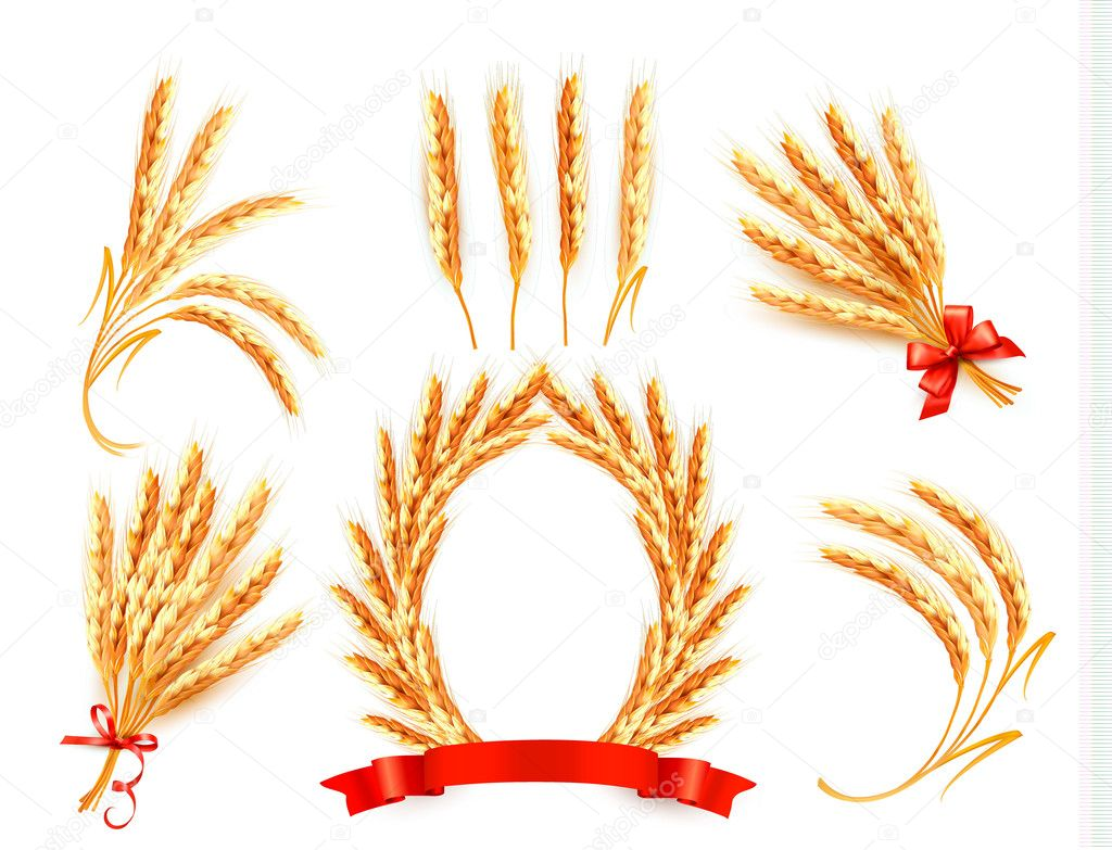 Ears of wheat. Vector illustration.
