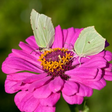 Two butterflies on pink flower close up