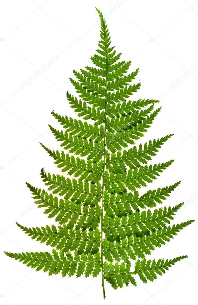 green sprig of fern
