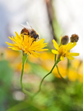 honey bee sip nectar from yellow flower